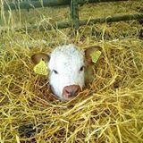 calf in straw