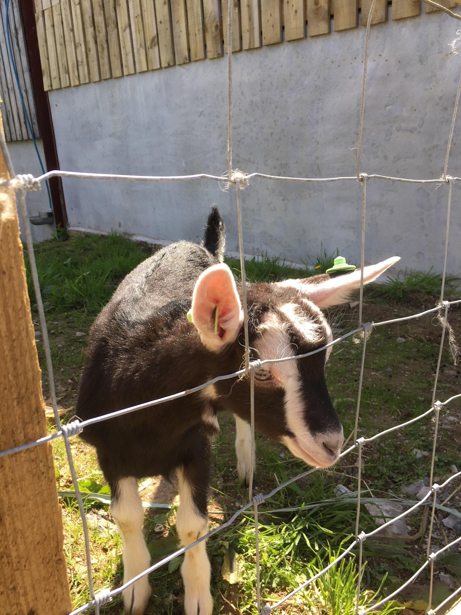 goats more may 2018