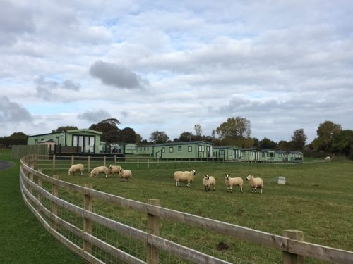The 8 ewes and 1 ram graze in front of the holiday homes.