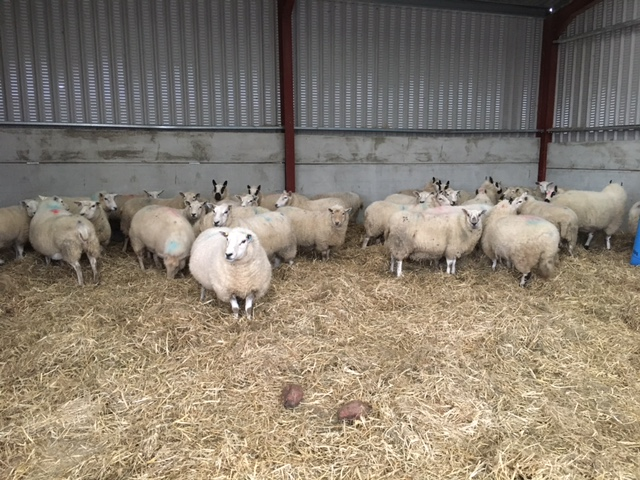 sheep in for lambing