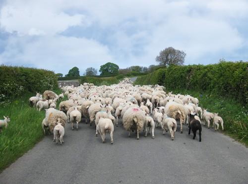 sheep-road